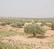 Der Holzbaum von Ölbaum